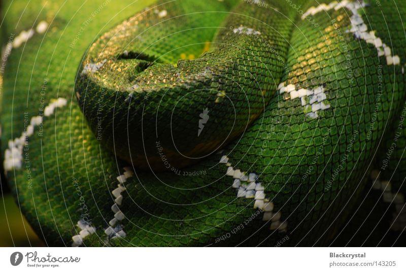 Wrinkle Zoo Barn Snake Reptiles Terrarium Snakeskin