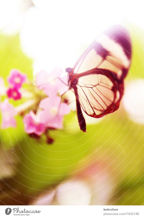 In dreamland Nature Plant Animal Spring Summer Beautiful weather Flower Leaf Blossom Garden Park Meadow Wild animal Butterfly Wing glass wing butterfly 1