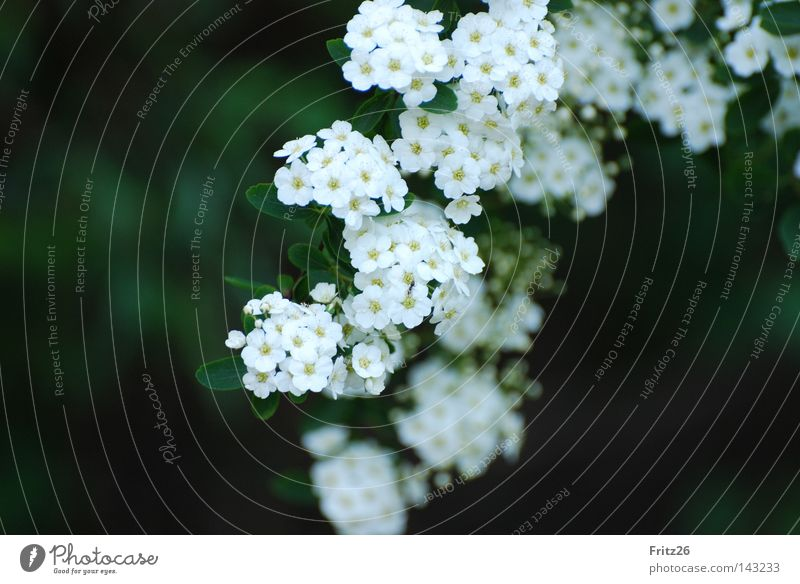 Nature White Green Blossom Spring Bushes Blossom leave