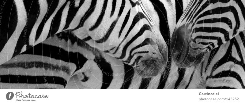 Animal Style Friendship Design Pattern Communicate Contact Stripe Pelt Zoo Wild animal Odor Mammal Exotic Black & white photo Graphic
