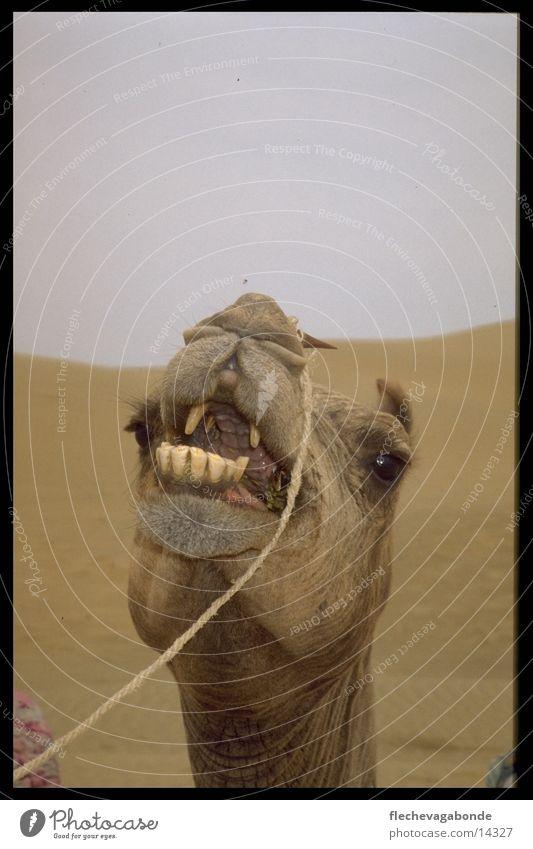 camel desert Landscape