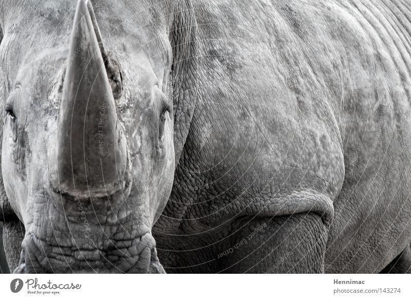My last photo. Rhinoceros Animal Gray Wild animal Ogre Old Skin Wrinkles Threat Dangerous Monster Colossus Might Evil Bull Fear Dinosaur Serengeti Zoo Nature