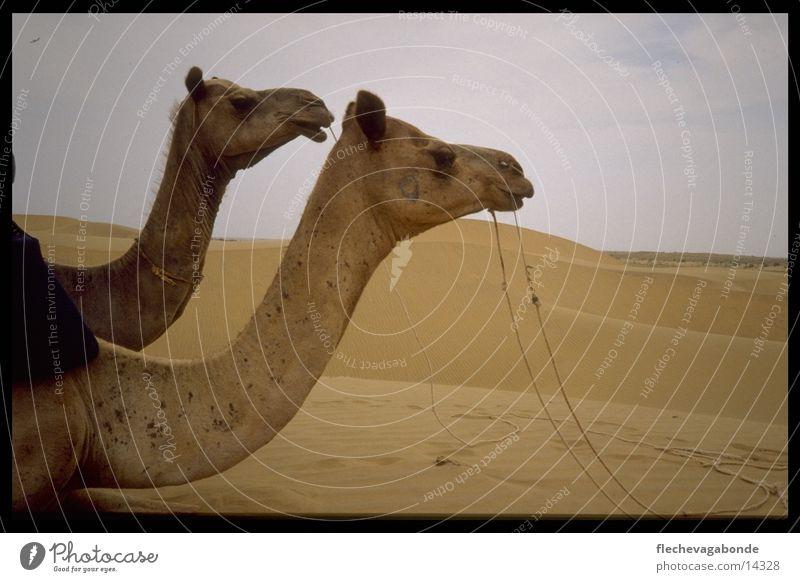 Two camels Camel Landscape