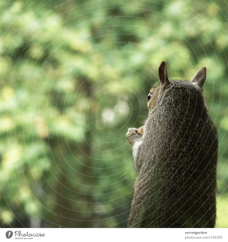 like scrat. Squirrel Park Animal To hold on Possessions Watchfulness Upper body Gray Feeding Tight-fisted Avaricious Speed Green Background picture Desire Cute