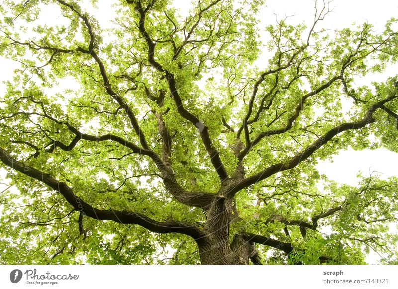 Nature Old Tree Spring Green Force Growth Natural Network Branch Upward Treetop Interlaced Branchage Delicate Oxygen