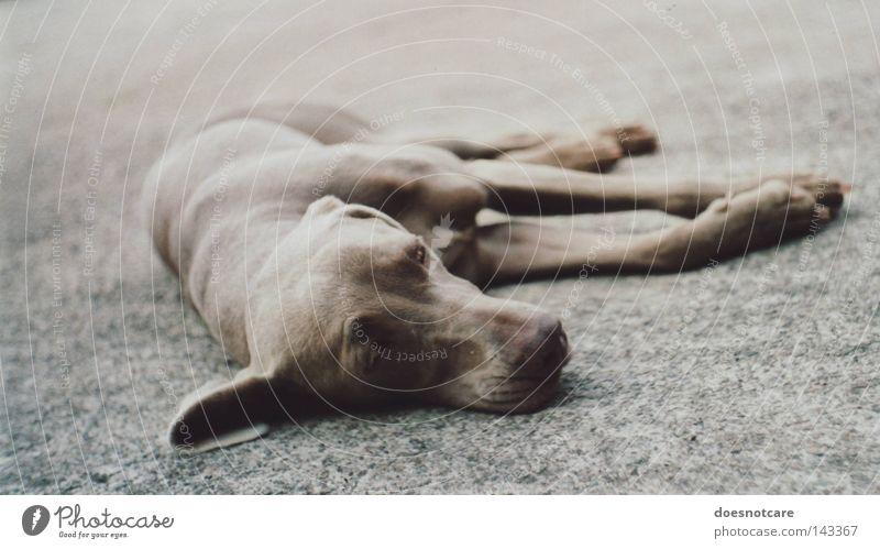 Animal Relaxation Gray Dog Break Lie Asphalt Analog Fatigue Cute Boredom Mammal Pet Feeble Exhaustion Goof off