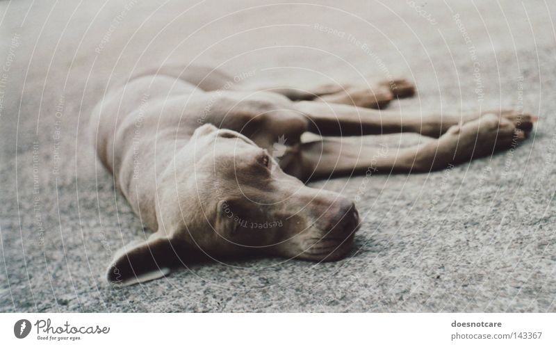 sleep tight, precious. Animal Pet Dog 1 Lie Cute Boredom Fatigue Feeble Weimaraner Hound Analog Mammal exa 1b Exhaustion Relaxation Break Colour photo