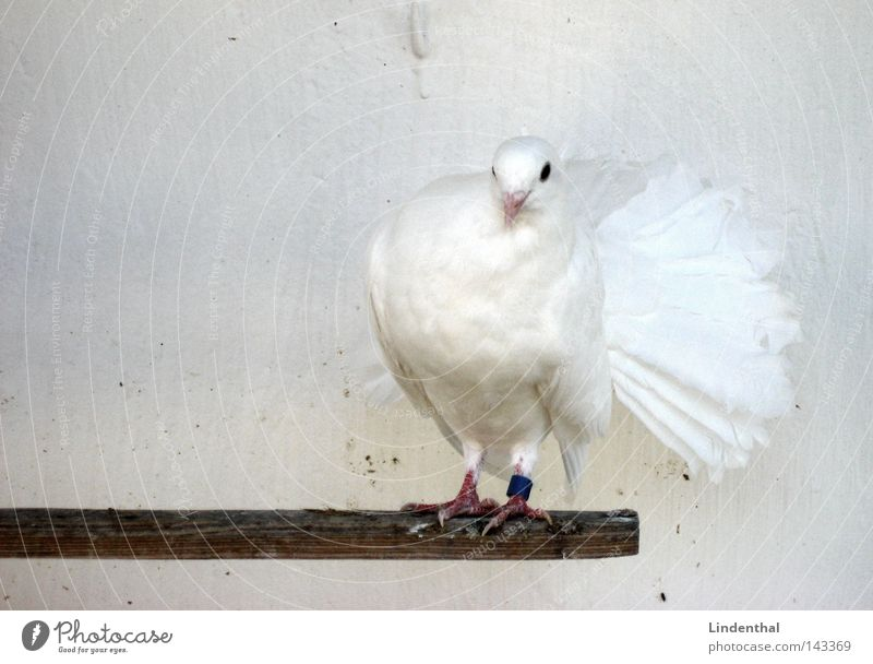 Dove dove Pigeon Animal Bird Footbridge White Timidity Flirt Hello OK Noble Elegant paloma Feather Snow sniff little head chic