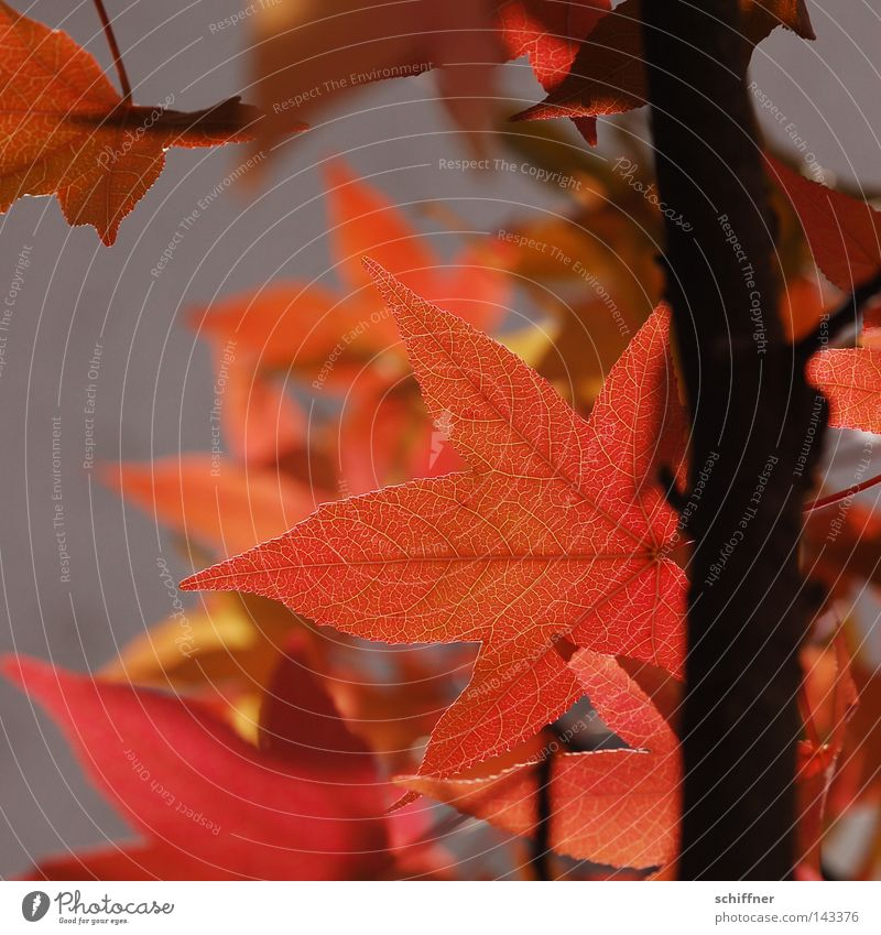 Tree Red Leaf Yellow Lamp Autumn Wall (building) Orange Branch Seasons Easy Twig Autumn leaves Maple tree Airy