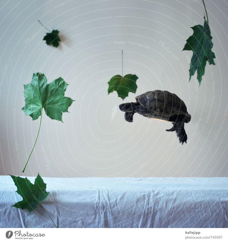THE LIGHTNESS OF BEING Greek tortoise Pet Interior shot Isolated Image Bright background Hover Gravity Leaf Weightlessness Easy Ease Tortoise-shell