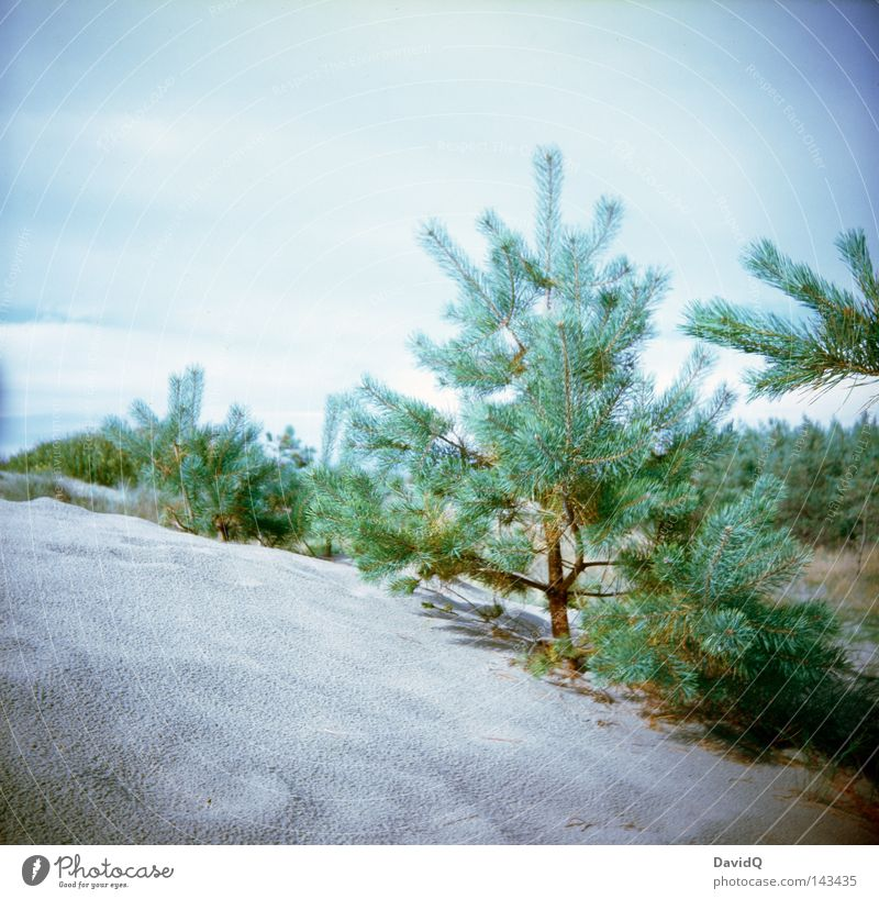 dune pine Beach Natural growth Forest Erosion Lomography Coast Baltic Sea Beach dune coastal dune flat coast Sand Plant Pine
