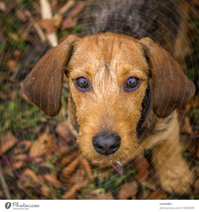 Wackel Dachshund Animal Pet Dog Watching TV Looking Brown Yellow Emotions Moody Love of animals Fear Reliability rough-haired dachshund Sweet Puppy Colour photo