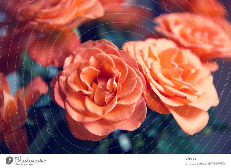 Thanks for the roses. 1300. Lifestyle Style Beautiful Rose Blossom Rose blossom Blossoming Fragrance Esthetic Fresh Positive Orange Red Joy Happy Friendship