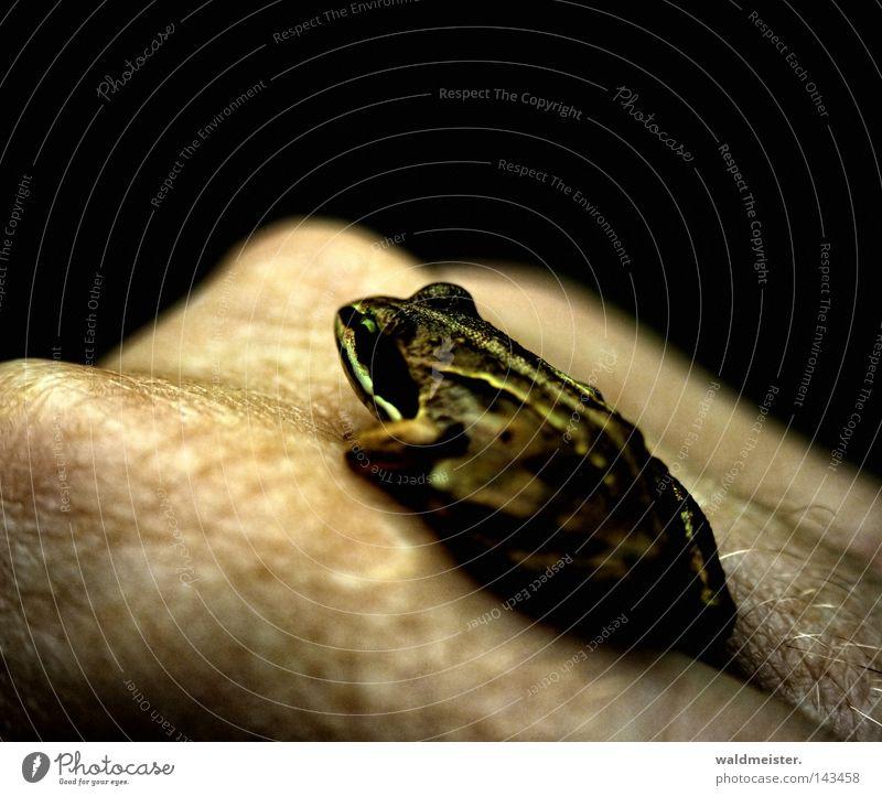 Hand Skin Gold Frog Fairy tale Amphibian Princess Frogs Jinxed
