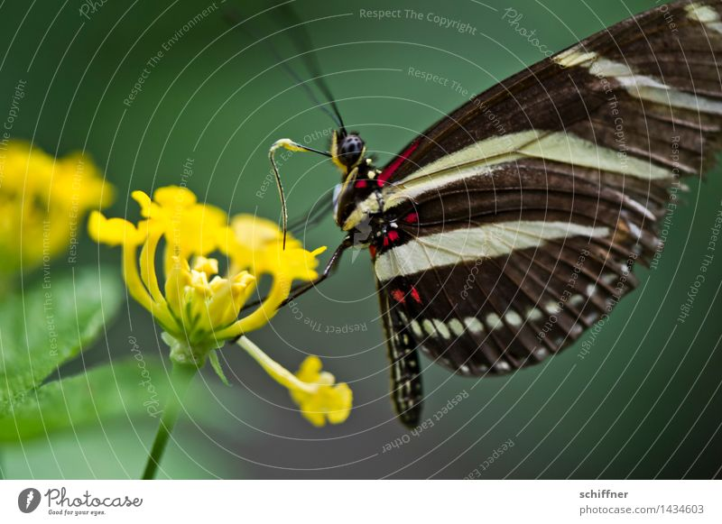 zebra Flower Animal Butterfly Wing 1 Yellow Green Insect Feeler Foraging Blossom Flowering plant Interior shot Close-up Macro (Extreme close-up) Deserted