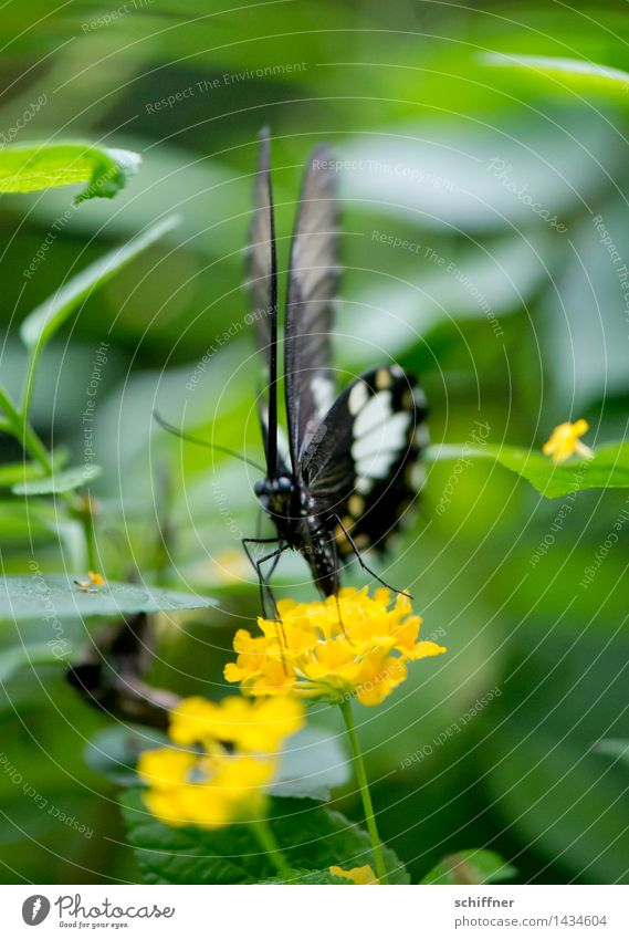 Thin Zebra Plant Flower Blossom Animal Butterfly Zoo 1 Yellow Green Exotic Insect Frontal Flying Foraging Exterior shot