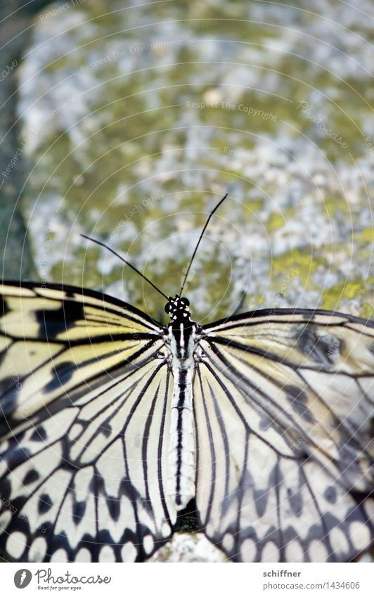 transience Animal Butterfly 1 Old Camouflage Pattern Wing Feeler Stone Stone floor Exterior shot