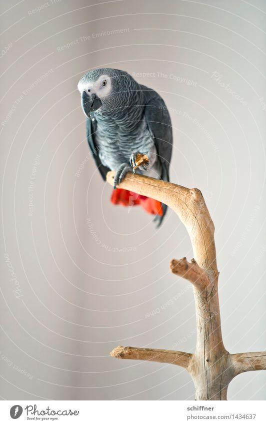 Coco fisherman Animal Pet Bird 1 Gray Red Parrots Grey Parrotlet Feed To feed Branch Loud Interior shot Deserted