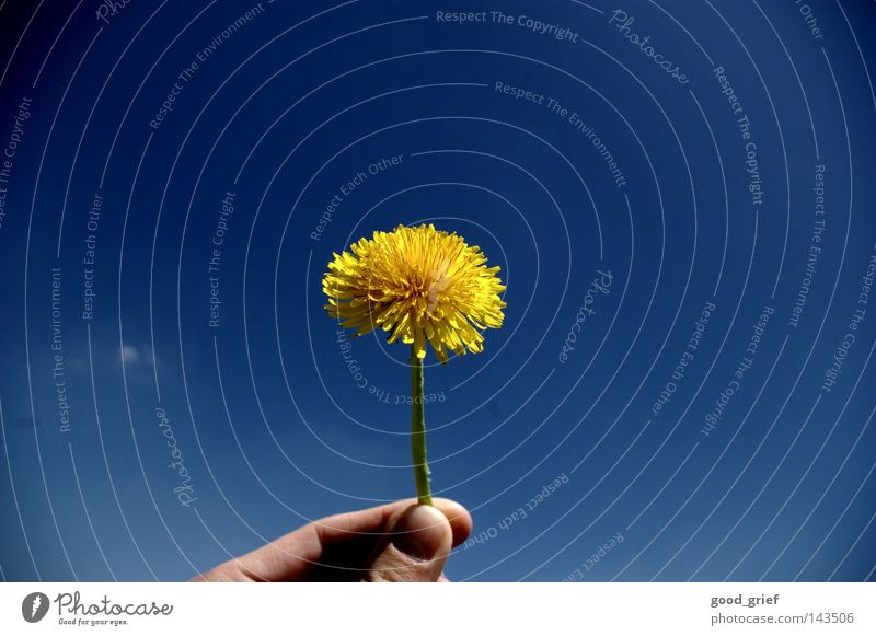 Taraxacum sect. ruderalia Dandelion Flower Daisy Spring Summer Hand Fingers Thumb Forefinger Fingernail Yellow Green taraxacum Sky Blue Beautiful weather