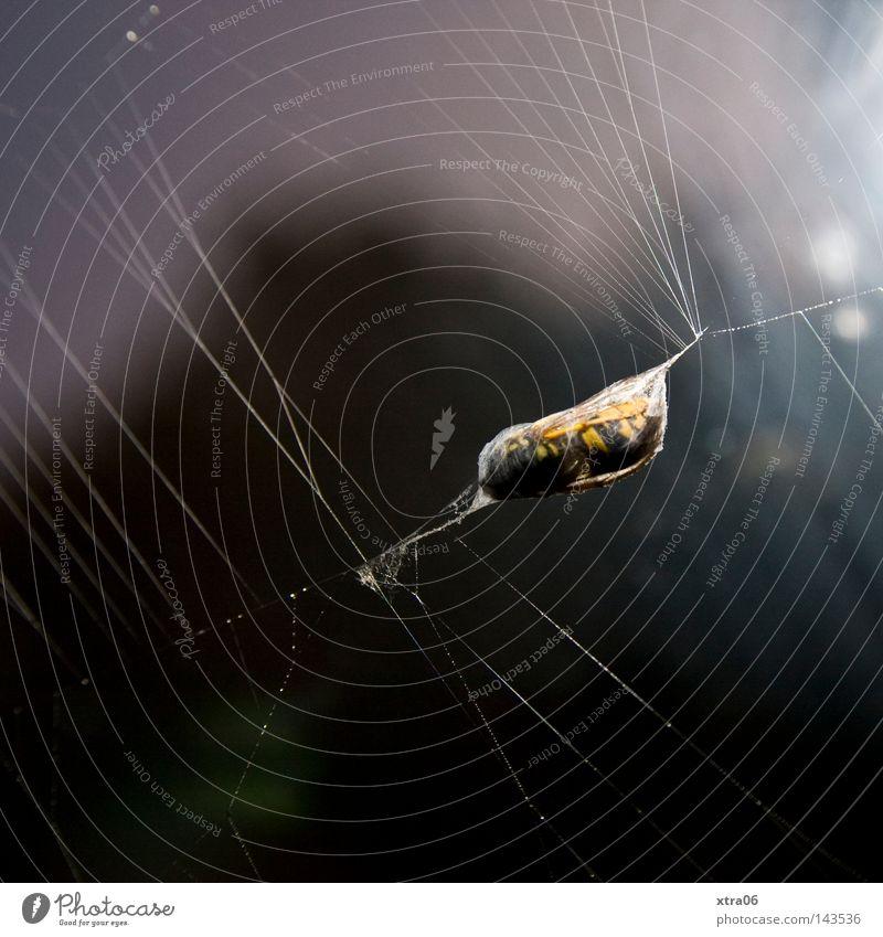 Bee Captured Net Spider Feed Spider's web Wasps Capture