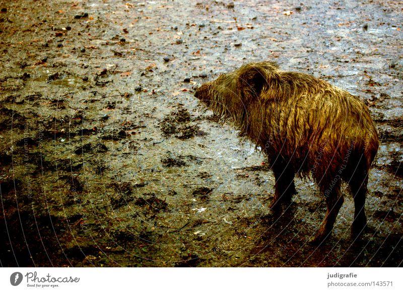 Animal Colour Loneliness Autumn Small Baby animal Rain Earth Dirty Wet Mammal Swine Runner Mud Wild boar