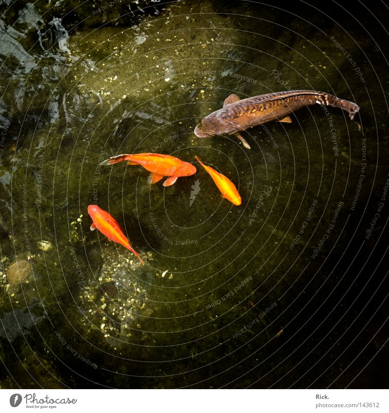 I'm the boss! Goldfish Piranha Appetite Green Reflection Koi Clouds Tree Gill Mirror White Square Feed Curiosity Breakage To break (something) Delicate Pond