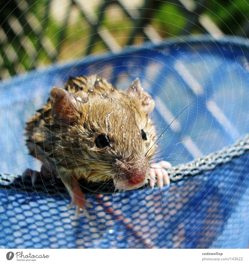 we called him phelps Mouse Swimming pool Wet Soak Bay watch Water Catch Rescue Whiskers Safety Mammal rescued nice catching basket swim Net saved by a hair