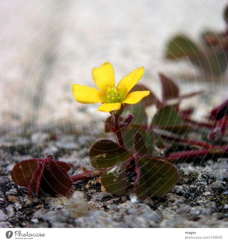 blossom Flower Blossom Clover Stone desert Pioneer Desert Individual Macro (Extreme close-up) Close-up Feeble