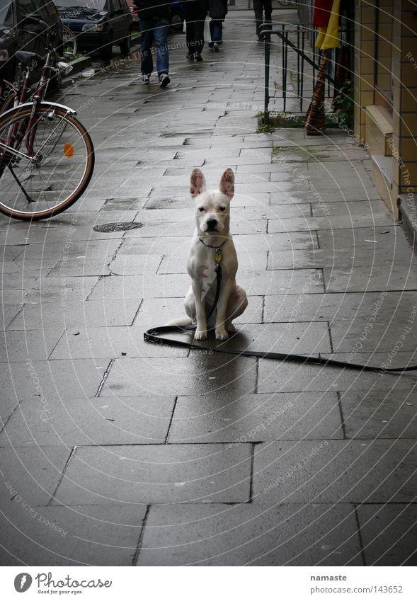 Dog White Beautiful Animal Street Lanes & trails Fear Sidewalk Barrier Aggression Dog lead Mastiff Schanzen quarter Street dog