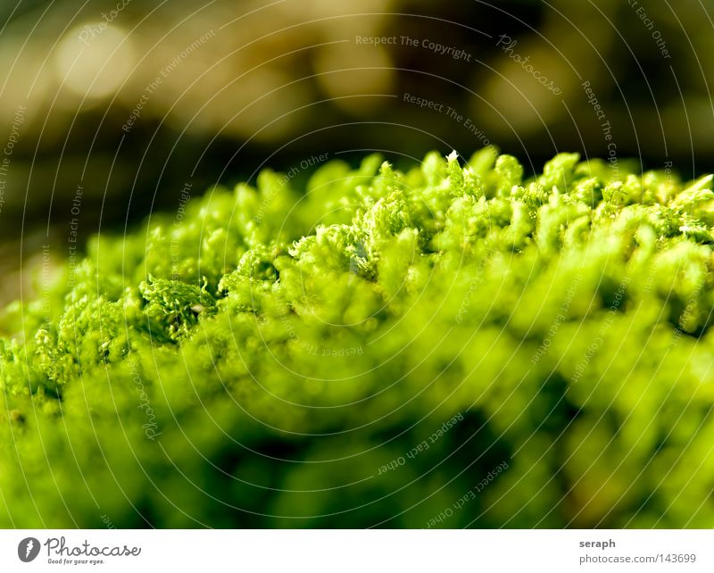 Bryophyta Plant Green Delicate Pattern Background picture Encalypta Leaf Ground cover plant Spore Environment Environmental protection Symbiosis Soft Blur Dark