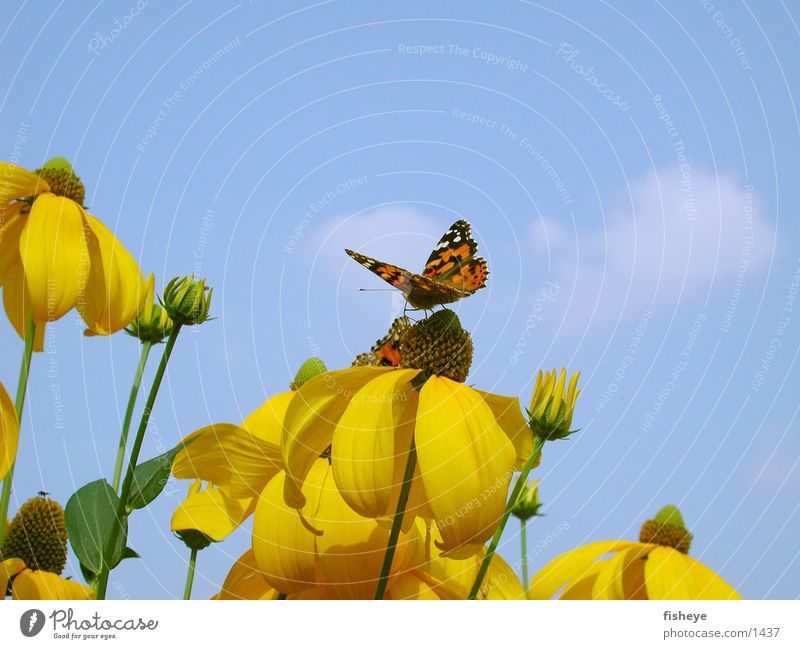 Sky Flower Blue Yellow Butterfly Nature