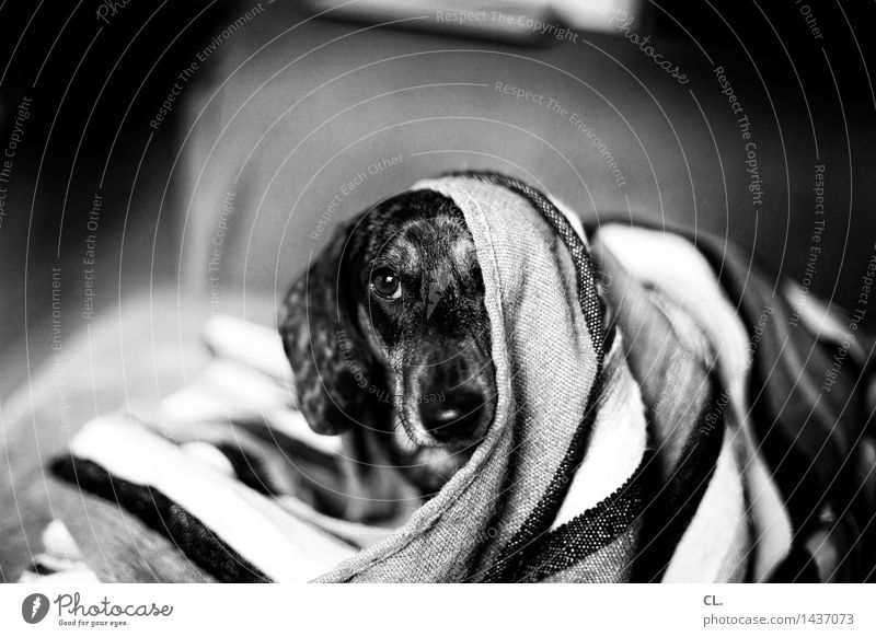 carlson Living or residing Animal Pet Dog Animal face Dachshund 1 Blanket Curiosity Cute Love of animals Black & white photo Interior shot Deserted Day