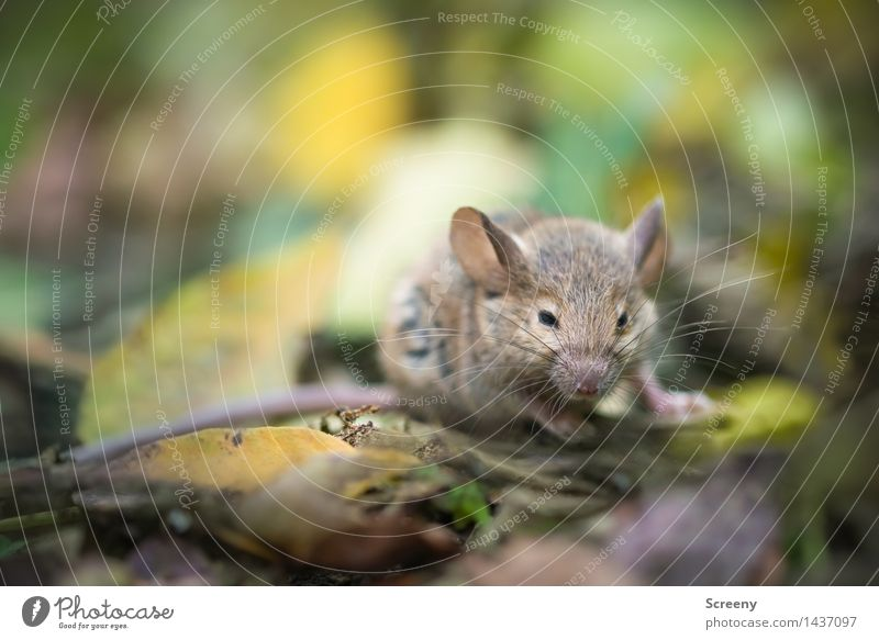 mice Nature Plant Animal Earth Autumn Leaf Meadow Forest Wild animal Mouse 1 Crawl Small Brown Gray Green Colour photo Close-up Macro (Extreme close-up)