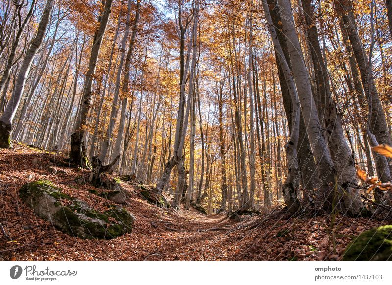Landscape with an autumn in a beech trees forest. The leaves are falling from time to time Beautiful Nature Plant Sun Sunlight Autumn Weather Tree Leaf Park
