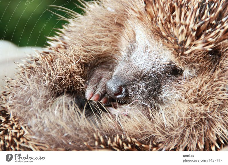 Lesser Hedgehog Animal Claw Erinaceus europaeus Mammal Sleep Round Thorny Brown To hibernate hedgehog Cute Nature Habitat Animal portrait Garden Wild animal