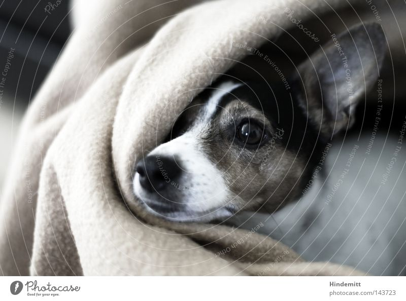 White Black Eyes Dog Bright Brown Wait Nose Ear Curiosity Wrinkles Long Beautiful weather Vertical Blanket Mammal