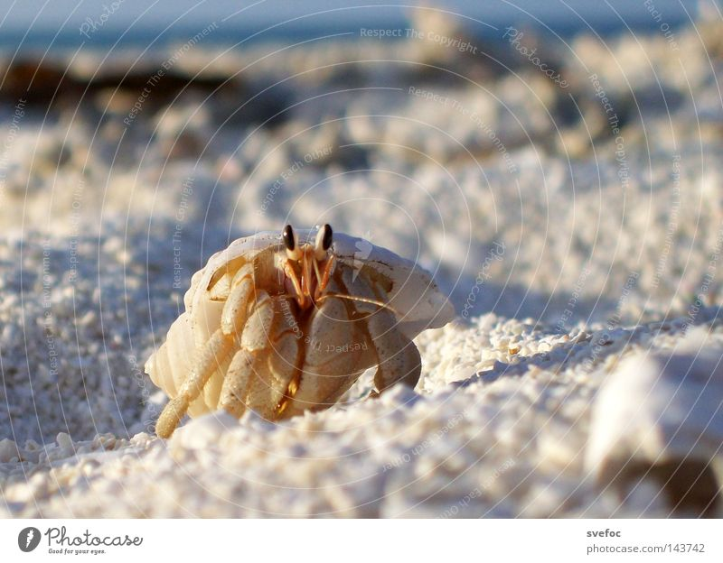 This summer you wear a shell Ocean Shellfish Mussel Vacation & Travel Beach Sand Shrimp Animal Goggle eyed Legs Hermit crab Shell-bearing mollusk
