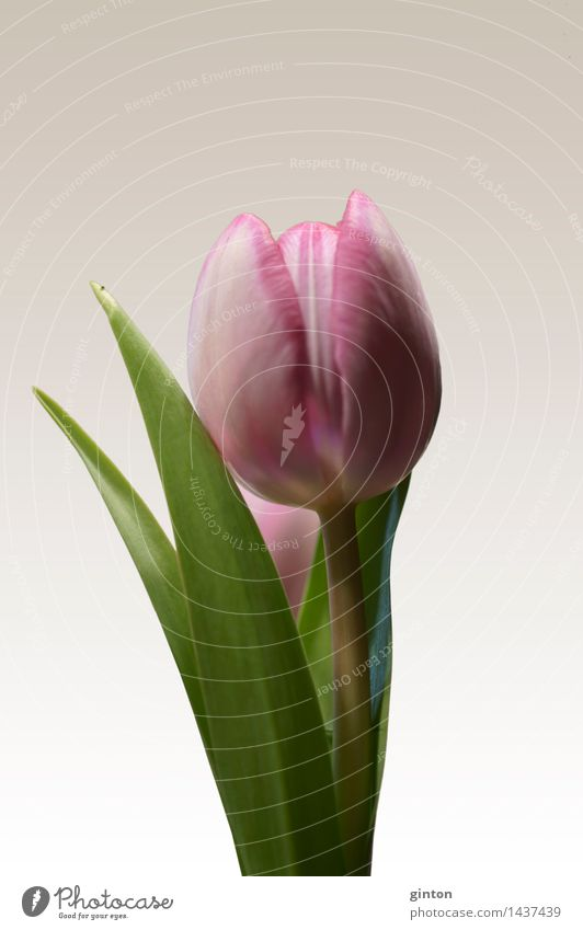 Tulip insulated Nature Plant Spring Flower Leaf Blossom Fragrance Fresh Green Pink tulipa Calyx side profile Profile Portrait photograph segregated