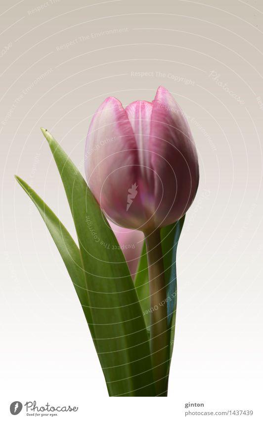 Tulip insulated Nature Plant Spring Flower Leaf Blossom Fragrance Fresh Green Pink tulipa Calyx side profile Profile Portrait photograph segregated