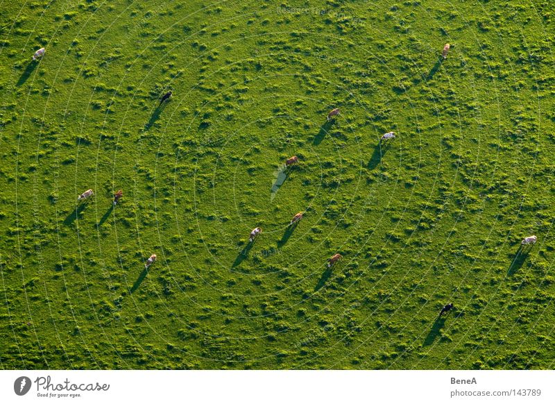 Green Animal Meadow Landscape Grass Pasture Agriculture Cow Economy Mammal Farm animal Herd Produce Land Feature Product Aerial photograph