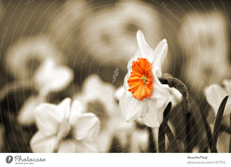 Flower Plant Yellow Meadow Blossom Spring Germany Blossoming Sepia Narcissus Wild daffodil
