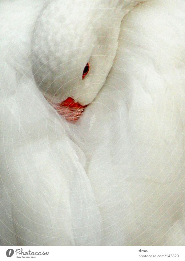 There's another day tomorrow. Beautiful Calm Bird Wing Sleep White Peaceful Goose Feather Retreat Beak Poultry feign fairy tale character Colour photo