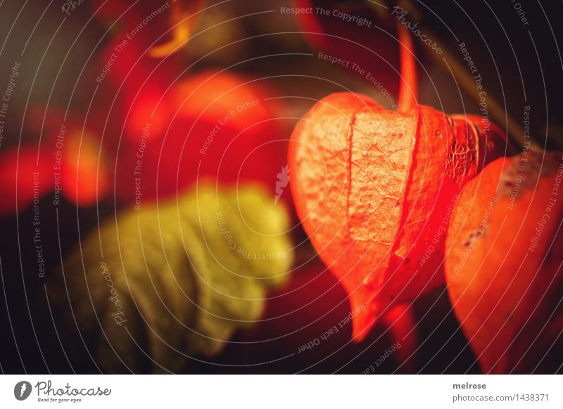 """I was just so """"orange."""" Tropical fruits Physalis Elegant Style Nature Summer Beautiful weather Plant Blossom Wild plant Lamp Flowering plant Part of the plant"""