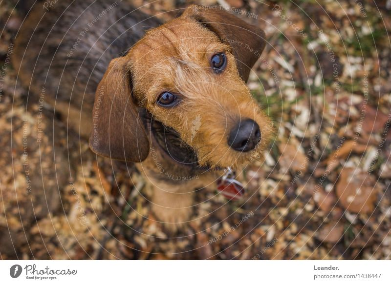 dachshund Animal Pet Dog 1 Animal tracks Adventure Happy Identity Uniqueness Dachshund rough-haired dachshund Looking Cute Small Puppy Colour photo