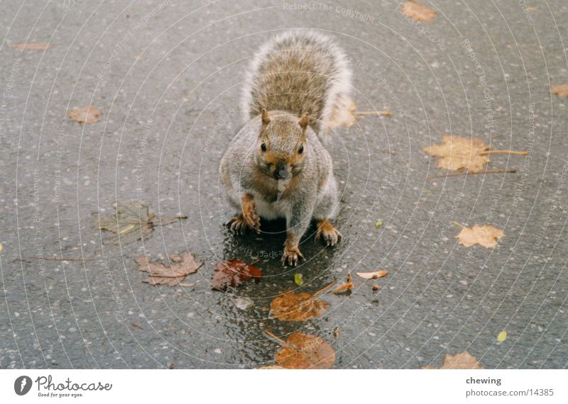 Animal Autumn Gray Brown Wet Squirrel