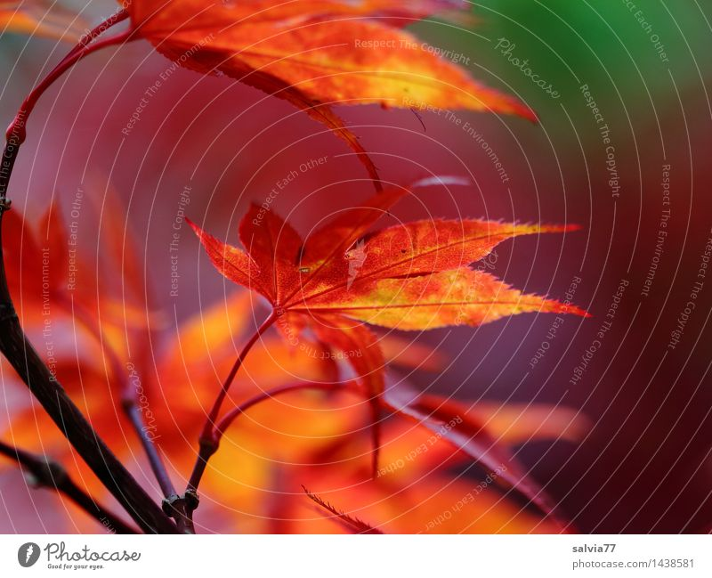 Nature Plant Green Colour Red Leaf Calm Environment Yellow Warmth Autumn Moody Orange Design Park Illuminate