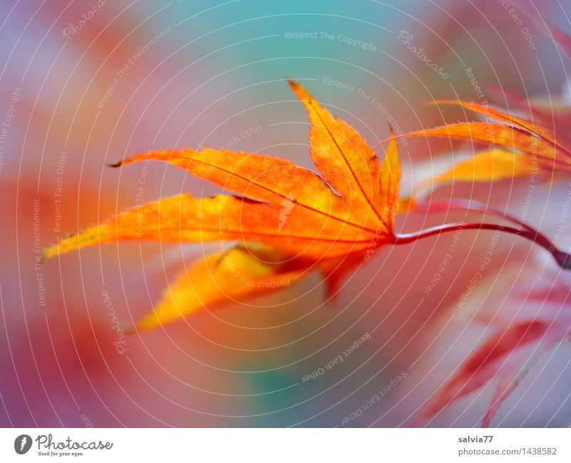 play of colours Environment Nature Animal Autumn Plant Leaf Maple leaf Autumnal colours Beautiful Blue Multicoloured Yellow Orange Red Ease Change