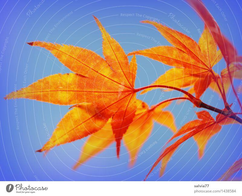 Sky Nature Plant Blue Colour Leaf Calm Environment Warmth Autumn Happy Orange Design Park Illuminate Esthetic
