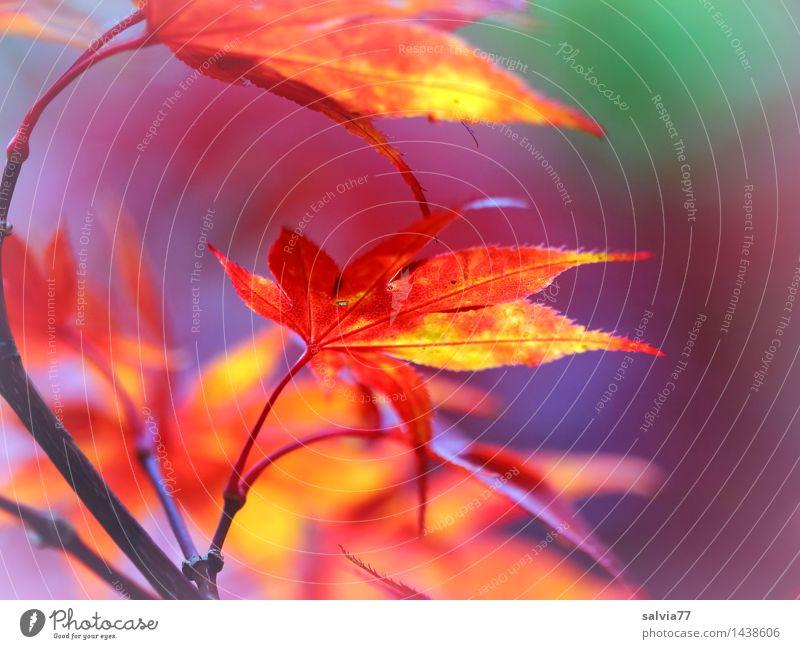 Nature Plant Beautiful Colour Tree Red Leaf Environment Yellow Warmth Autumn Moody Orange Illuminate Idyll Esthetic
