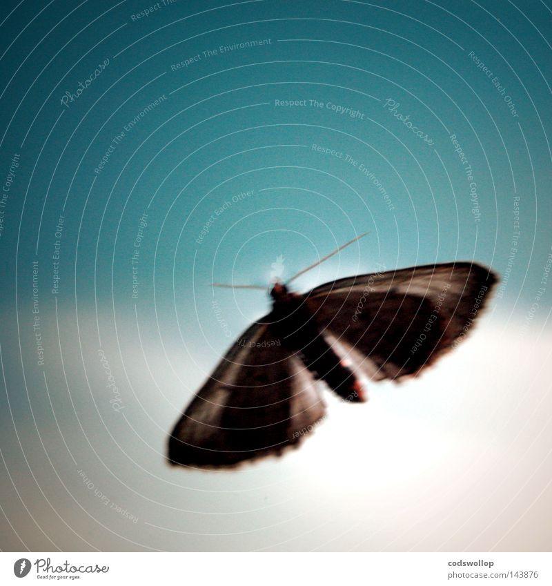 Sky Blue Flying Peace Moth